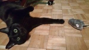 carny kot leżący na drewnianej podłodze zzabawką catch me - nakręcaną myszą