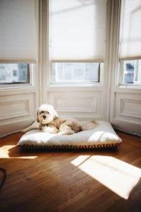 pies na posłaniu pod oknami
