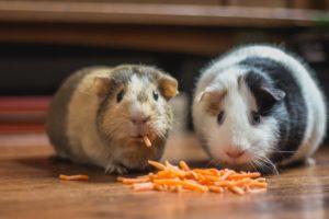 dwa chomiki jedzące marchew wsłupkach